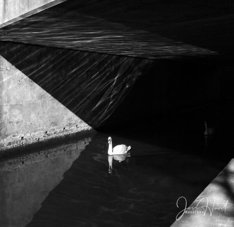 Urban Swan