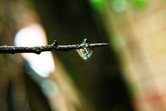 Hawthorn Rain